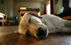 Animals_Dogs_Sleeping_dog_on_floor_020830_ (Small)